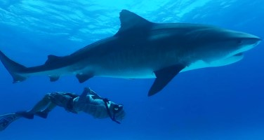 Internet of sharks: Virtual Reality gets up close and personal with Hammerheads and Tigers